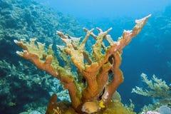 Elkhorn coral ,Acropora palmata Stock Images