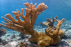 Elkhorn coral Acropora palmata. Is considered to be one of the most important reef-building corals in the Caribbean royalty free stock photography