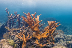 Elkhorn coral & x28;Acropora palmata& x29;. Elkhorn coral ,Acropora palmata is considered to be one of the most important reef-building corals in the Caribbean royalty free stock photo
