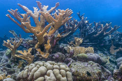 Elkhorn coral Acropora palmata. Is considered to be one of the most important reef-building corals in the Caribbean stock image