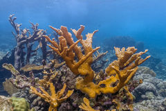 Elkhorn coral Acropora palmata. Is considered to be one of the most important reef-building corals in the Caribbean royalty free stock photo