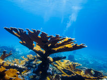 Elkhorn coral (Acropora palmata) on reef. LITTLE CORN ISLAND, NICARAGUA: Elkhorn coral (Acropora palmata) on top of reef with divers in the background royalty free stock photography