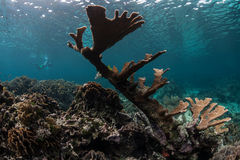 Elkhorn Coral Colony in Caribbean Sea. An elk horn coral colony grows in extremely shallow water off the coast of Belize in the Caribbean Sea Royalty Free Stock Image