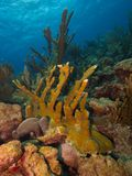 Elkhorn Coral. Large stand of Elkhorn Coral on a pristine reef typical of the east coast of Bonaire stock image