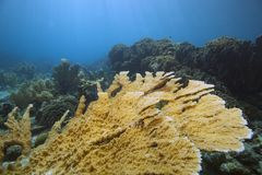 Elkhorn coral in pristine condition Stock Image