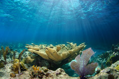 Elkhorn coral. Sunlight streams through shallow water onto large  elkhorn coral acropora palmata Stock Image