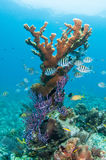 Elkhorn Coral With Sergeant Majors Royalty Free Stock Photo