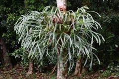 Elkhorn Fern in an Australian Rainforest. Image shows an Elkhorn Fern, Platycerium bifurcatum in a Rainforest on the mid north coast of NSW, Australia stock photos
