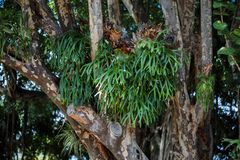 Elkhorn Fern Platycerium bifurcatum. In the forest royalty free stock photo