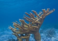 Elkhorn Koralle Lizenzfreie Stockfotos
