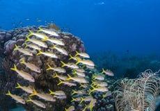 Elkhorn-Koralle u. x28; Acropora palmata& x29; Stockfotos