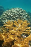 Elkhorn and lobed star corals in the Caribbean sea. Elkhorn and lobed star corals underwater in the Caribbean sea stock photography