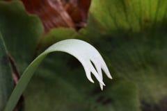 Elkhorn ormbunke i en australisk Rainforest Royaltyfria Foton