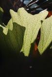 Elkhorn ormbunke i en australisk Rainforest Royaltyfri Fotografi