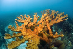 Elklhorn coral Royalty Free Stock Image