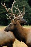 Elks (2) royalty free stock photos