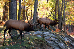 Elks in autumn Stock Photos