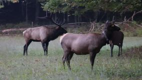 Elks Bugle In The Great Smoky Mountains National Park stock video footage