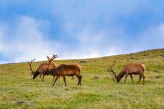 Elks Royalty Free Stock Photo