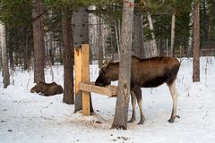 Elks eating in the winter. Elks eating and lying in the winter Royalty Free Stock Photos