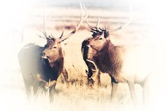 Elks Faded to White Royalty Free Stock Photos