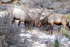 Elks fighting Royalty Free Stock Photography