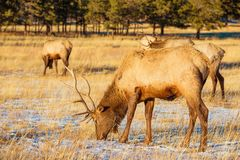 Elks Gang on the Meadow. Elks Gang on the Colorado High Rockies Meadow. Colorado, United States Stock Images