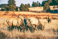 Elks Gang Meadow Royalty Free Stock Photos