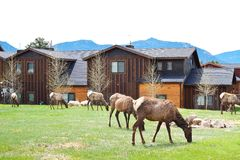 Free Elks Grazing On Grass In Estes Park Stock Photo - 75285220