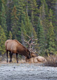 Elks in love Royalty Free Stock Photo