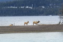Elks parading on small island on Yellowstone Lake at Yellowstone National Park royalty free stock images