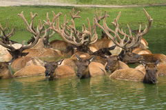 Elks in the pond Royalty Free Stock Photo