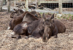 Elks rest Royalty Free Stock Image