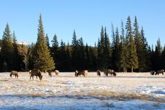 Elks on the snow royalty free stock photos