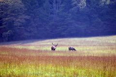Elks stood in meadow Stock Image