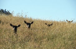 Elks in Tall Grass. The grass on this hillside is so tall that only the heads of four female elk can be seen here in Sinkyone State Park, California Royalty Free Stock Photo
