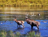 Elks in Water Royalty Free Stock Photography