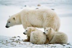 Ella-oso polar con los cachorros. Imagen de archivo libre de regalías