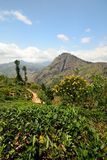 Ella Rock and tea crops, Sri Lanka Stock Image
