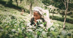 Ella, Sri Lanka - 30 décembre 2017 : Thé-récolteuse féminine p de vieillesse Images stock