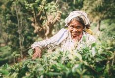 Ella, Sri Lanka - 30 de dezembro de 2017: Chá-máquina desbastadora fêmea p da idade avançada Fotos de Stock