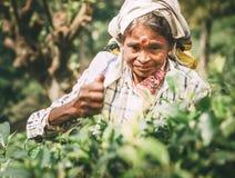 Ella, Sri Lanka - 30 de dezembro de 2017: Chá-máquina desbastadora fêmea p da idade avançada Imagens de Stock Royalty Free