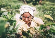 Ella, Sri Lanka - 30 de diciembre de 2017: Té-recogedor femenino p de la edad avanzada Fotografía de archivo libre de regalías