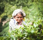 Lankian local woman picks a tea stock photo