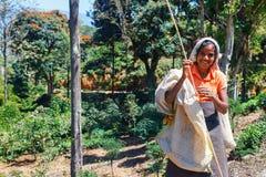 Ella, Sri Lanka - 6 février 2017 : Femme de feuille de thé de cueillette du Sri Lanka sur la plantation de thé chez Ella dans la  photos libres de droits