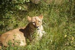 Elle lion images stock