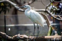 Ellegant Common egret at zoo.  stock photo