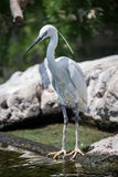 Ellegant Common egret at zoo.  royalty free stock photography
