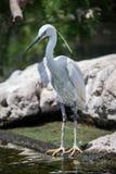 Ellegant Common egret at zoo royalty free stock photography