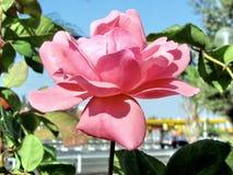 Eller den Yehuda rosa färgrosen isolerade 2011 Royaltyfria Bilder